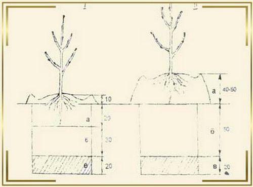 Абрикос: посадка и уход — простые правила. особенности выращивания абрикоса: выбор саженца, правильная посадка и уход, фото