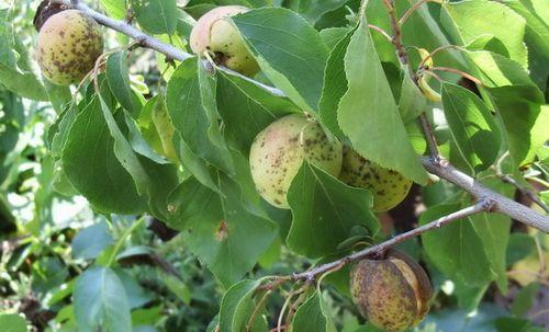 Абрикос засох: почему и что делать? практические советы тем, у кого вдруг засыхает абрикосовое дерево: выясняем, почему это происходит