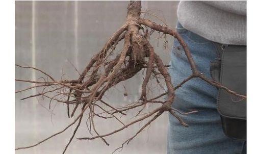 Агротехника посадки спиреи: как подобрать место и почву. правильный уход за спиреей: размножение, полив, подкормки и обрезка