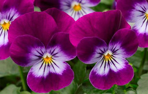 Анютины глазки – посадка и уход, особенности этого цветка и разных его сортов. болезни и вредители анютиных глазок