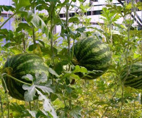 Арбузы:выращивание и уход за самой крупной сладкой ягодой. полакомимся сочным арбузом, выращенным на собственной грядке!