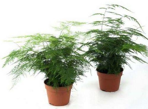 Аспарагус: уход в домашних условиях, советы с фото. выращиваем дома аспарагус: удивительный цветок, который цветёт очень редко, а красив - всегда