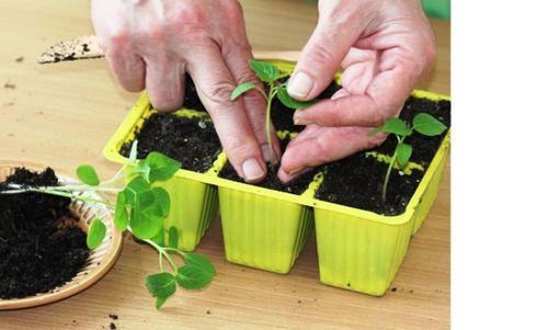 Буддлея: посадка и уход, размножение, выращивание из семян. описание лучших сортов буддлеи с фото