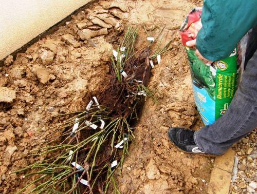 Черная смородина: осенняя посадка ягодников. как правильно провести посадку смородины осенью, чем заправить посадочную яму