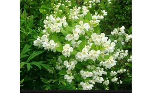 Чубушник – необычный кустарник для сада, ложный жасмин. секреты выращивания и ухода за чубушником (фото)