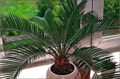 Цикас - выращивание, уход, пересадка и размножение