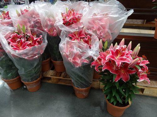 Домашняя лилия: посадка и уход за цветком королей (фото). как правильно ухаживать за домашней лилией, чтобы она цвела