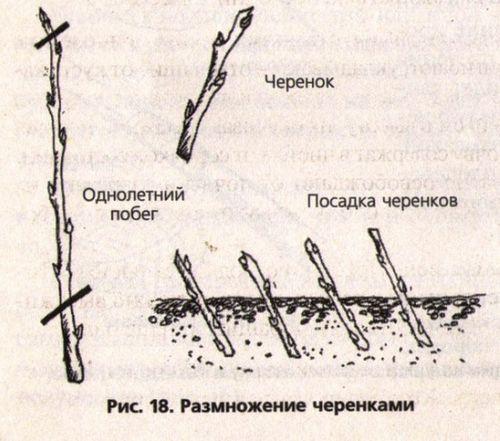 Форзиция: посадка и выращивание «солнечного фонтана». уход за форзицией – полив, подкормки, обрезка
