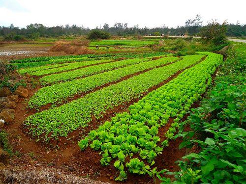 Горчица как сидерат: важные рекомендации по осеннему посеву и дальнейшему использованию. плюсы и минусы посадки горчицы осенью