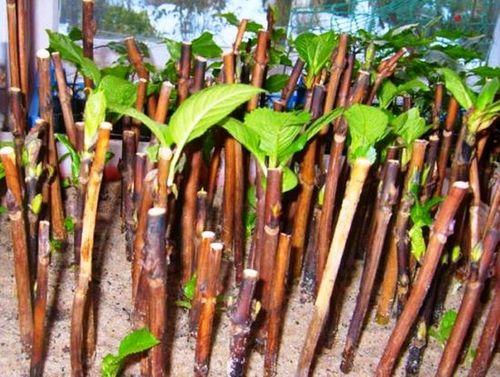 Гортензия: посадка осенью в открытый грунт. секреты выращивания гортензии, посадки и пересадки её осенью