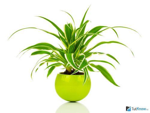 Хлорофитум - выращивание, уход, пересадка и размножение