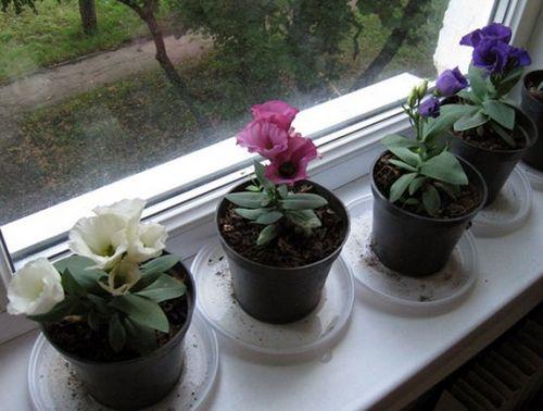 Ирландская роза (эустома): тропическая красавица в саду и на подоконнике. уход за эустомой в цветнике и домашних условиях