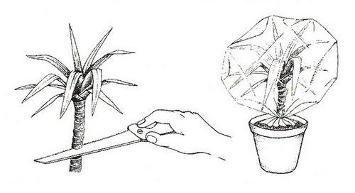Юкка: уход в домашних условиях (фото). размножение, условия содержания, проблемы при выращивании юкки дома