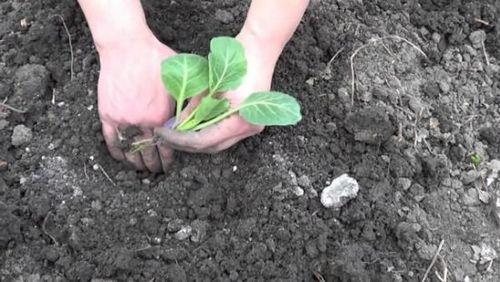 Как получить хороший урожай цветной капусты: рассада, почва, подкормки. тонкости выращивания цветной капусты в открытом грунте