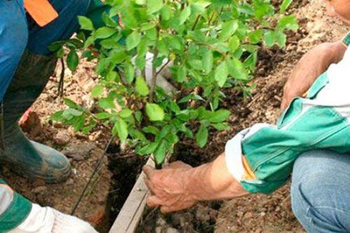 Как посадить барбарис: выбор почвы, места, сроков посадки. уход за барбарисом в саду: полив, удобрение, обрезка и обработка от вредителей