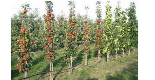 Как посадить колоновидную яблоню: сроки посадки и схема. уход за колоновидной яблоней: подкормка, обрезка и зимовка дерева