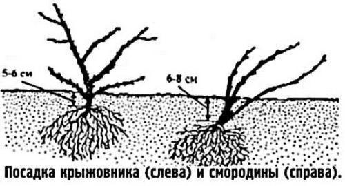 Как посадить крыжовник осенью: полезные советы опытных садоводов. осенний уход за крыжовником: обрезка, подкормки и мульчирование