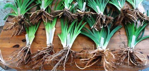 Как посадить лилейники в открытом грунте - выращиваем неприхотливую красоту. правила ухода за лилейниками в саду (фото)