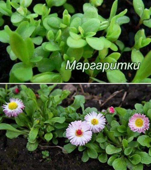 Как посадить маргаритки в саду, много ли с ними мороки? уход за маргаритками в открытом грунте, секрет цветения в первый год