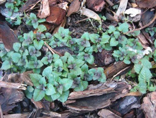 Как посадить монарду семенами (фото): сроки посева, почва. уход за монардой после цветения: как подготовить кустарник к зиме