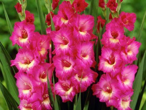 Как правильно посадить гладиолусы в открытый грунт. подготовка и выбор клубнелуковиц гладиолусов для посадки в открытый грунт
