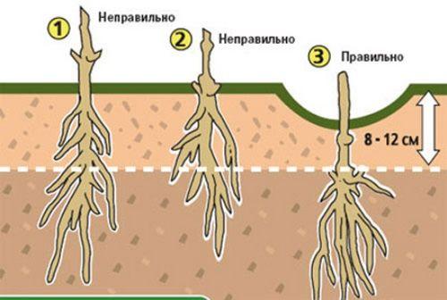 Как провести пересадку клематиса осенью. советы садоводов по уходу за клематисом: полив, подкормки и обрезка клематиса
