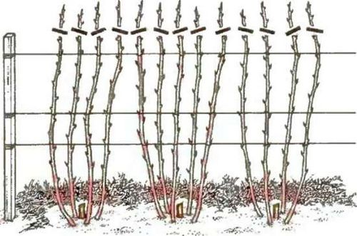 Как ухаживать за малиной весной: обрезка, обработка и подвязывание кустарников. чем подкормить малину и как побороть вредителей и болезни