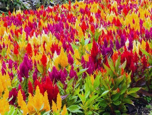 Как вырастить целозию из семян: посев на рассаду, посадка и уход за растением в открытом грунте. болезни и вредители целозии