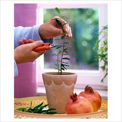 Как вырастить гранат из косточки в домашних условиях: пошаговые рекомендации. цветёт ли гранат выращенный из косточки дома