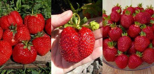 Как вырастить в домашних условиях клубнику - королеву ягод. все о выращивании клубники в домашних условиях (фото)
