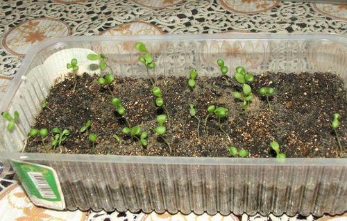 Камнеломка: уход, размножение и виды. как вырастить здоровый цветок и добиться цветения камнеломки