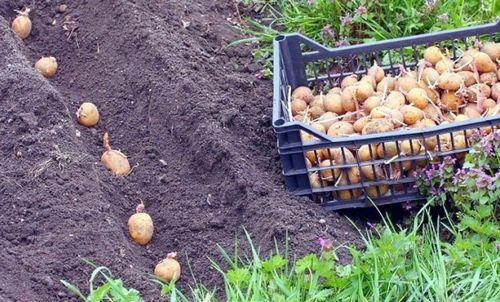 Картофель «аврора»: описание сорта, достоинства и недостатки. как получить высокий урожай картофеля «аврора»