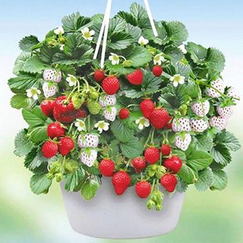 Клубника в горшках: ароматный урожай на балконе и на подоконнике. как выращивать клубнику в горшках, чтоб цвела и плодоносила