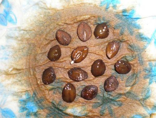 Кобея: посадка и основы ухода. выращиваем красивые монастырские колокола на садовом участке. секреты посадки кобеи (фото)