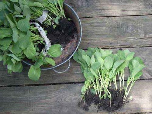 Когда сажать цветную капусту на рассаду: сроки, температура. как вырастить здоровую рассаду цветной капусты:когда её сеять в теплице