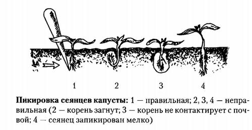Когда сажать рассаду капусты брокколи? способы посадки и правила выращивания рассады капусты брокколи дома