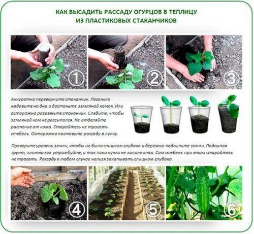 Когда сеять огурцы на рассаду в домашних условиях? как сажать огурцы на рассаду: подготовка семян, когда огурцы высаживать в грунт
