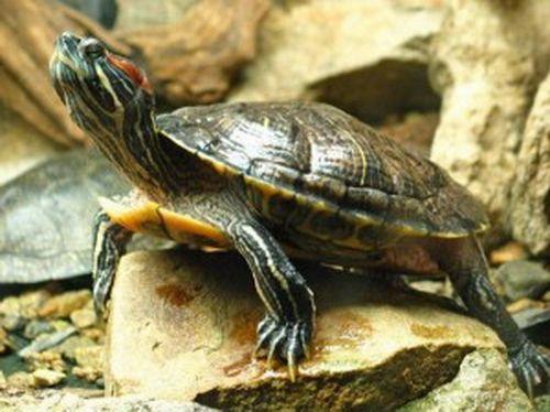 Красноухая черепаха: как ухаживать в домашних условиях. как правильно обращаться, кормить и ухаживать за красноухой черепахой в домашних условиях