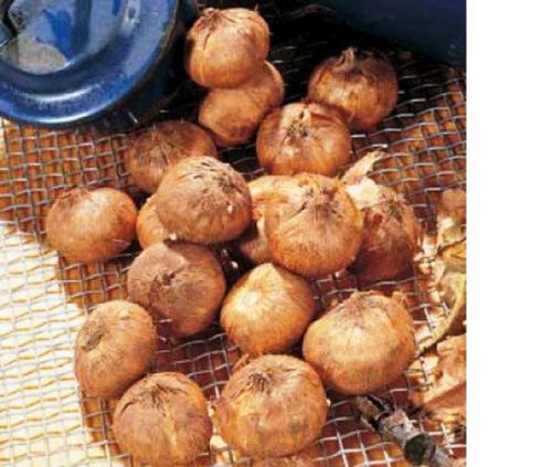 Крокусы: осенняя посадка луковичных. правила и секреты осенней посадки крокусов: сроки, глубина (фото)