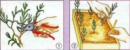 Лаванда: выращивание ароматного и целебного растения на дачном участке. все о выращивании лаванды: посев, уход, вредители