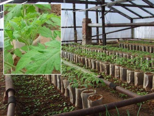 Лучшие сорта томатов для теплицы из поликарбоната – характеристики, особенности посадки, выращивания и ухода. как выбрать сорт томатов?