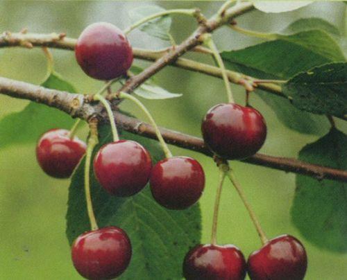 Лучшие сорта вишен для различных климатических регионов. особенности выращивания лучших сортов вишни: достоинства и недостатки