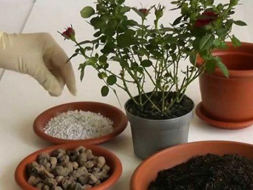 Миниатюрная роза «дик дик»: описание, достоинства сорта. выращивание роз сорта «дик дик» в горшке и в открытом грунте