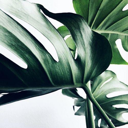 Монстера - выращивание, уход, пересадка и размножение