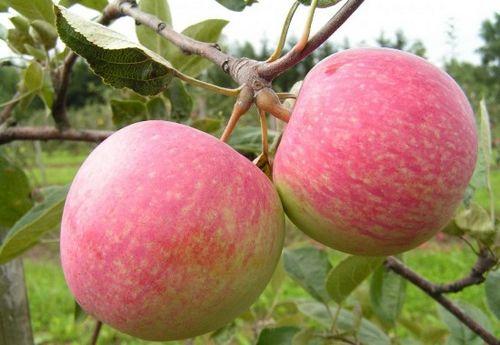 Наиболее подходящие сорта яблонь для подмосковья: описание. какие сорта яблок выбрать для подмосковья, чем они отличаются?