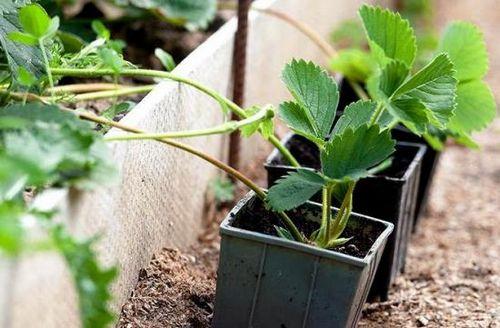Осенняя пересадка клубники обеспечивает высокую урожайность и качество ягод. особенности и правила пересадки клубники осенью (с фото)