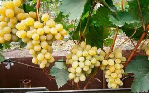 Особенности неукрывных сортов винограда в подмосковье. характеристики лучших сортов неукрывного винограда для подмосковья