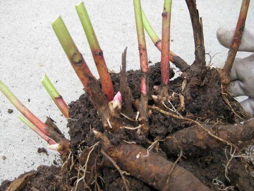 Особенности выращивание пионов: посадка и уход. семенное размножение при выращивании пионов: как это и есть ли смысл?