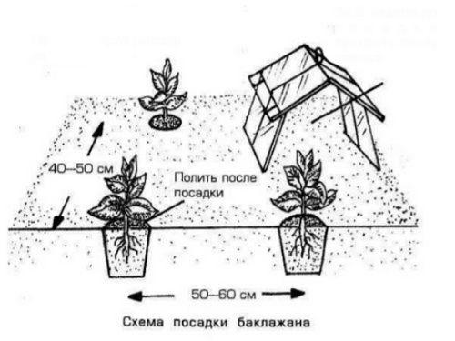 Особенности выращивания баклажанов на зависть соседям: мои любимые синенькие! как вырастить хороший урожай баклажанов