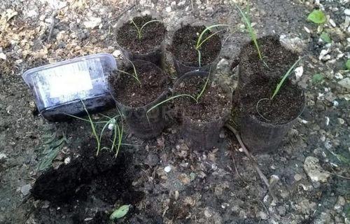 Пампасная трава: выращивание в разных климатических поясах. тонкости ухода за пампасной травой: посев, пересадка рассады, подкормки